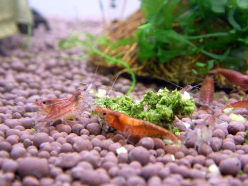 ração camarão shrimpsnacks maulberr glasgarten 30g