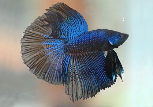 ração em pó para coloração peixes ornamentais 200g