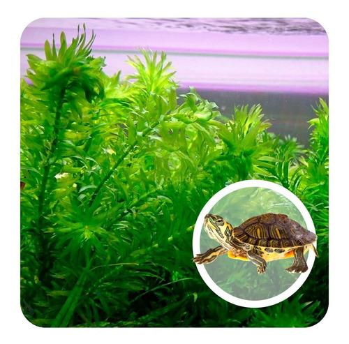 ração verde kit 4 elódia tartaruga tige jabutí cagado lago