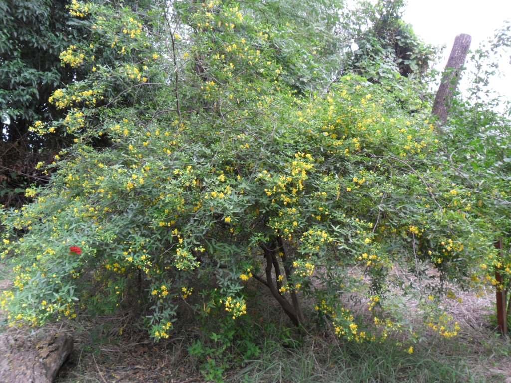 Rama negra arbusto floral nativo hojas y frutos vistosos for Arbustos de hoja caduca