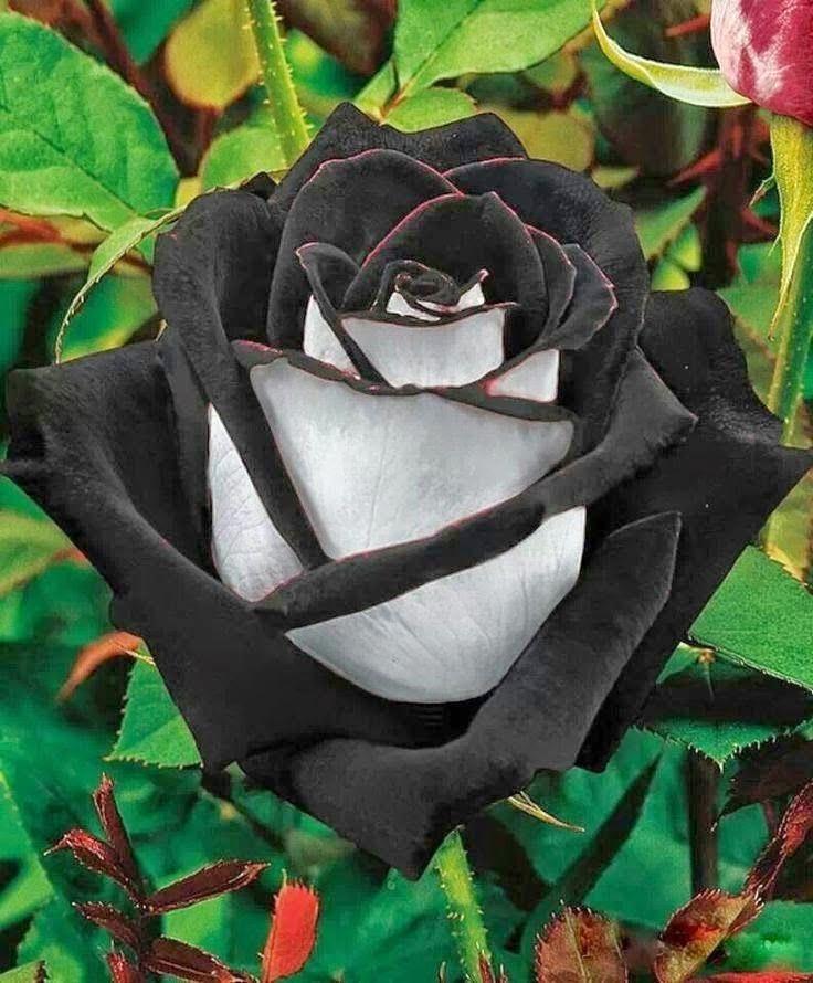 Ramo 10 Rosas Naturales Negras Varias Presentación Isiflor 698