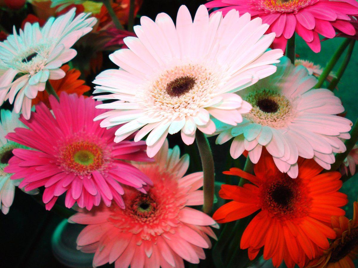 Ramo De Flores Naturales Gerberas O Rosas 500 00 En Mercado Libre