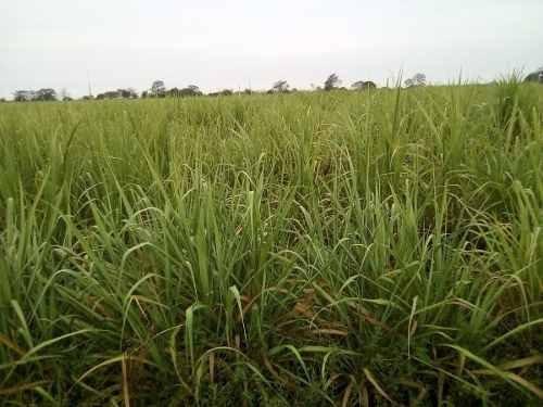 rancho cañaveral agrícola siembra de caña un super precio