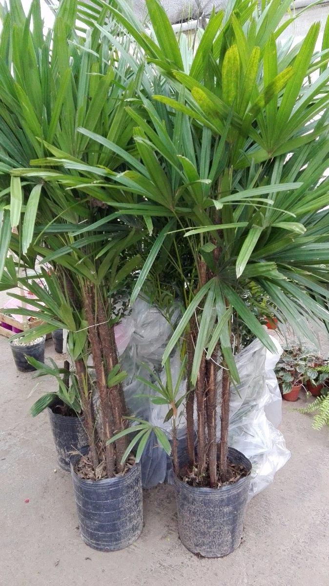 Palmeras plantas de interior trendy la mejor opcin para eliminar toxinas del aire y una de las - Plantas de interior palmeras ...