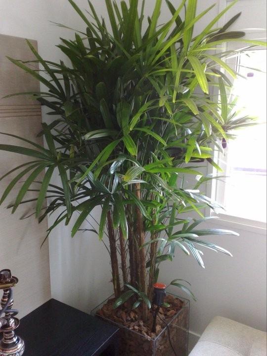 raphis excelsa palmera de interior y exterior e15 - $ 999,00 en
