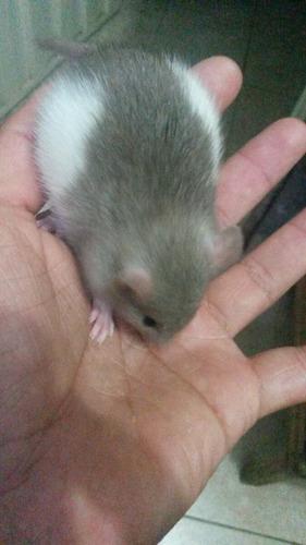 ratas domésticas