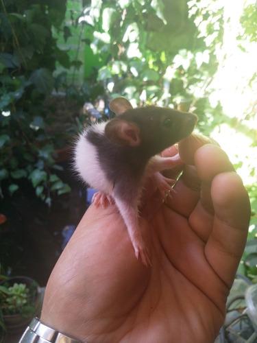 ratas (rattus norvegicus)