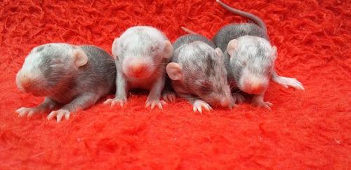 ratos twister padrão marten