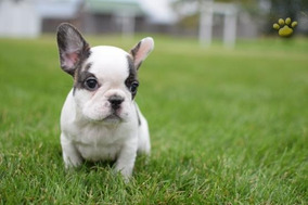 Perros de raza pequeña que se regalen y baratos