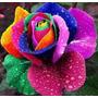 Rosa Arcoiris. Semillas Seleccionadas 30 Semillas X 20 Soles