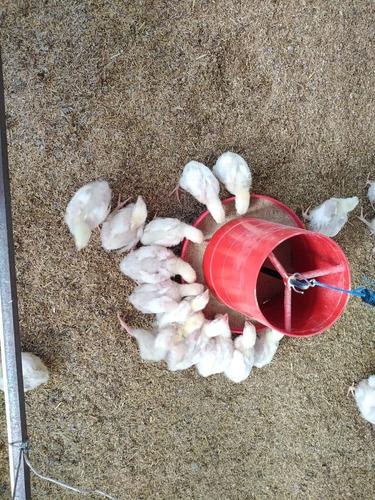 recría de pollos de engorde de 8 días.
