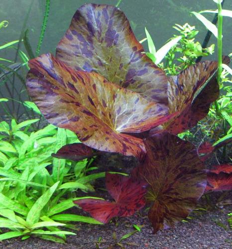 red tiger lotus.