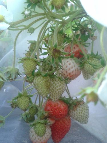 regala una mata frutal jardín_matas de fresas orgánicas