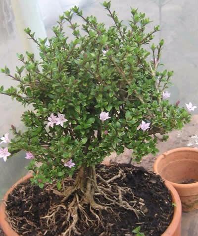 regalo: bonsai matera de barro cocido con medallón en madera