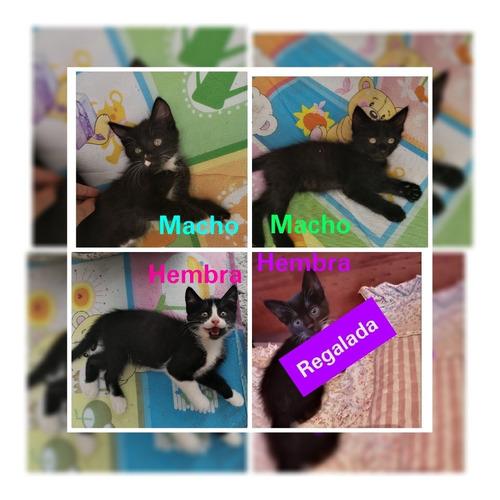 regalo gatitos curicó