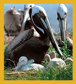 purchase cheap 67ab2 3fe1a Regalo Trenz Pelican Y Chicks Marcador Magnético