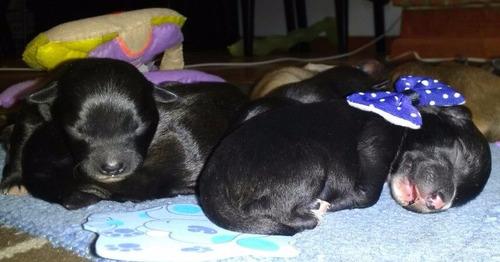 remato!! $1600 hermosos cachorros pastor belga mallinois