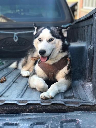 renta de perro husky siberiano
