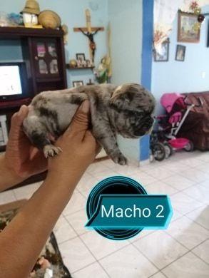 renta de semental bulldog frances micro micro