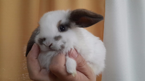 reserva de conejos bebes holland y fuzzy lop!!