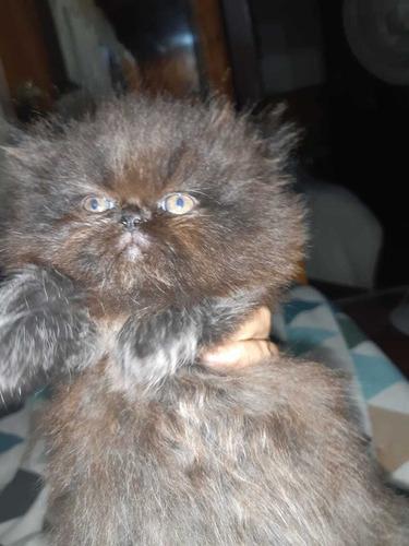 reserva!! tu gatitos persa