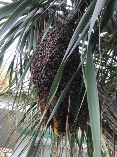 retirada de abelhas, resgate remoção abelha vespa marimbondo