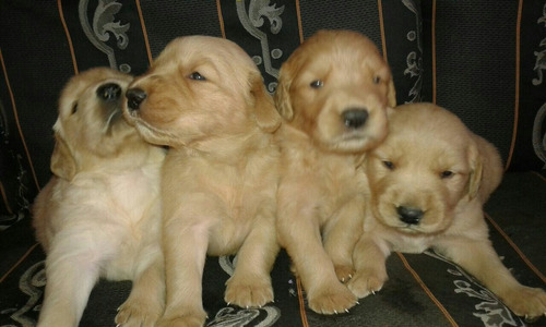 retriever raza golden
