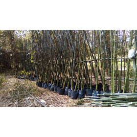 Rizoma De Bambu Oldhammi