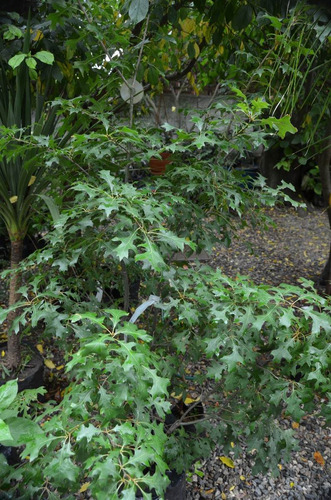 roble americano hermosa sombra----mas de  5 mts alt