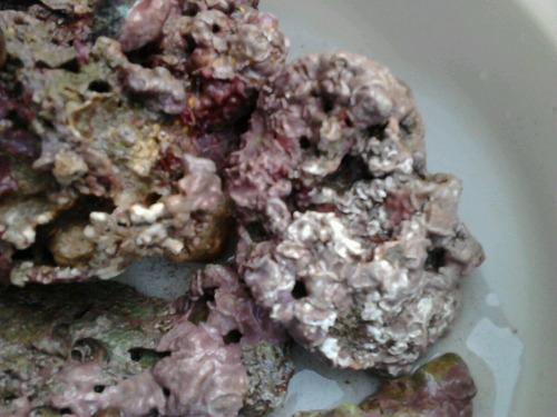 roca morada