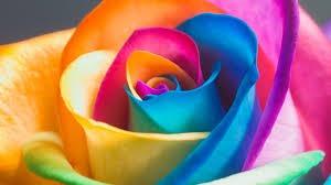 rosa arco-íris (raras) 15 sementes+ frete gratis