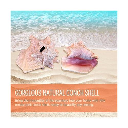 rosa bahama reina conch shell - 9-10 pulgadas caracola total