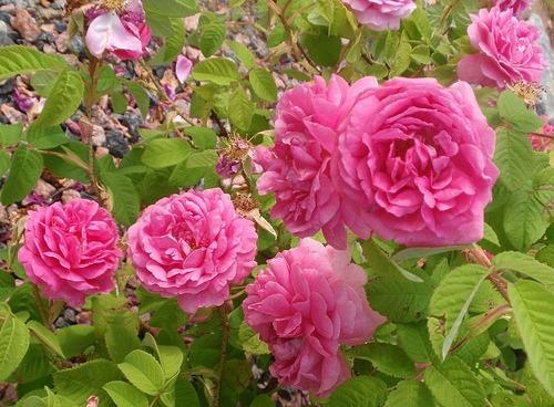 rosa de castilla verdadera