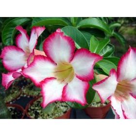 Rosa Del Desierto Esquejada / Floreciendo/ Rosda Plantas
