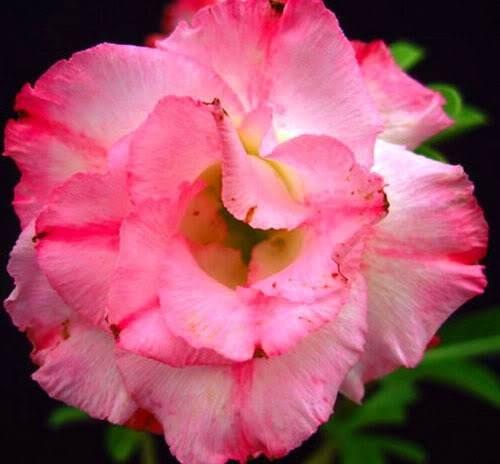 rosa deserto cor