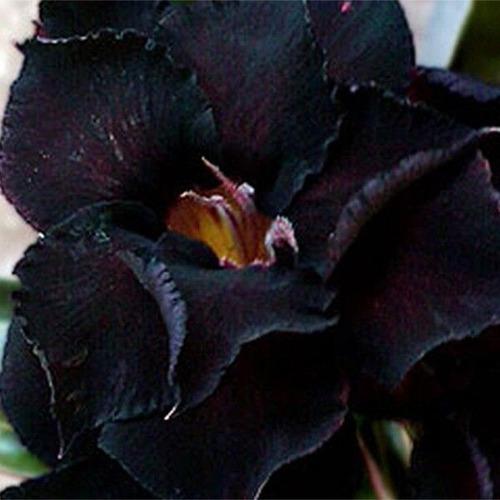 rosa do deserto 15 sementes pretas - adenium duplas tripla