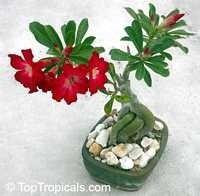 rosa do deserto adenium obesum 01 semente ( frete 10.00 )