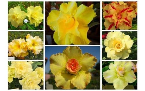 rosa do deserto kit amarelas (18 sementes - 6 tons) adenium