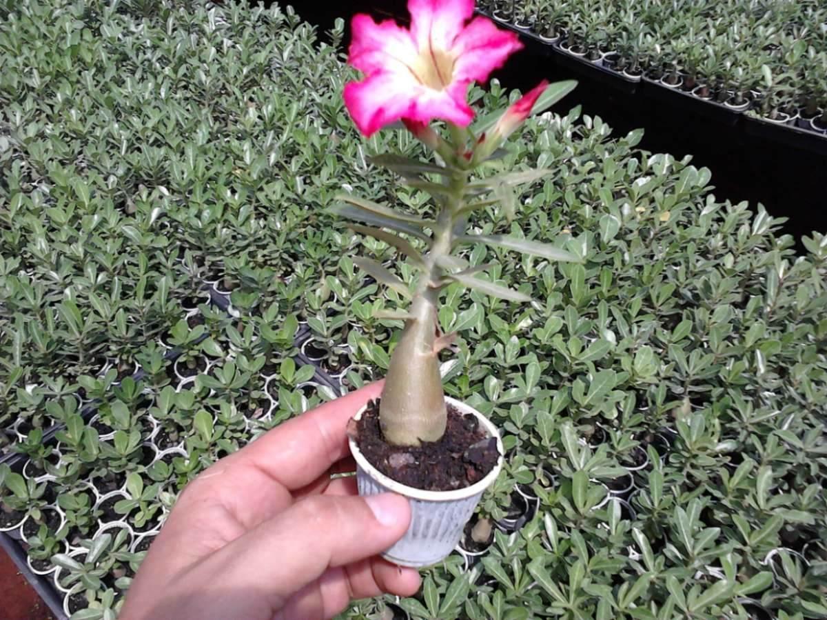 Rosa Do Deserto Mix Adenium Obesum Sementes Flor Para Mudas R 14