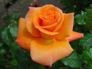 rosa laranja orange sementes flor para mudas