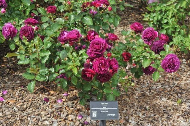 Rosa Roxa Grandiflora Twilight Zone Sementes Flor Para