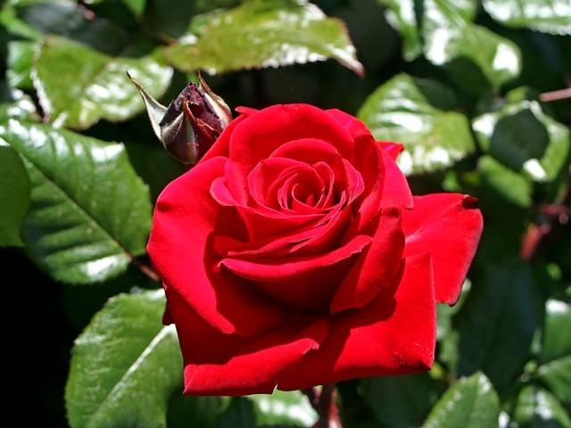 Florescência flor vermelha rosa isolado um fundo branco ...  |Rosa Flor Vermelha