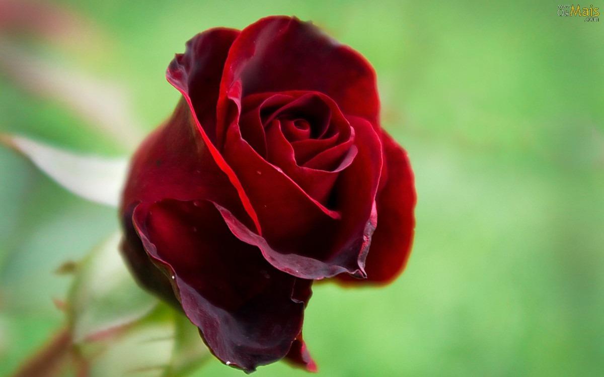 Flor De Uma Rosa Vermelha Em Um Fundo Preto Foto de Stock ...  |Rosa Flor Vermelha