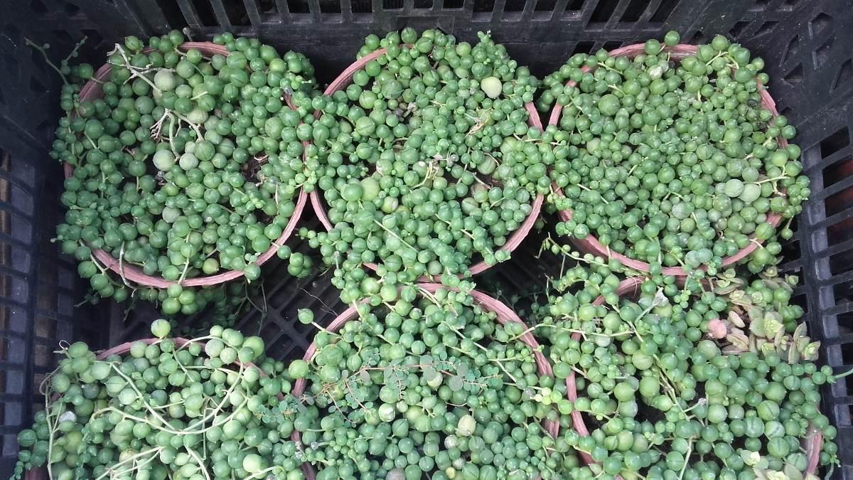 Plantas suculentas colgantes excellent tipos de plantas for Plantas suculentas colgantes