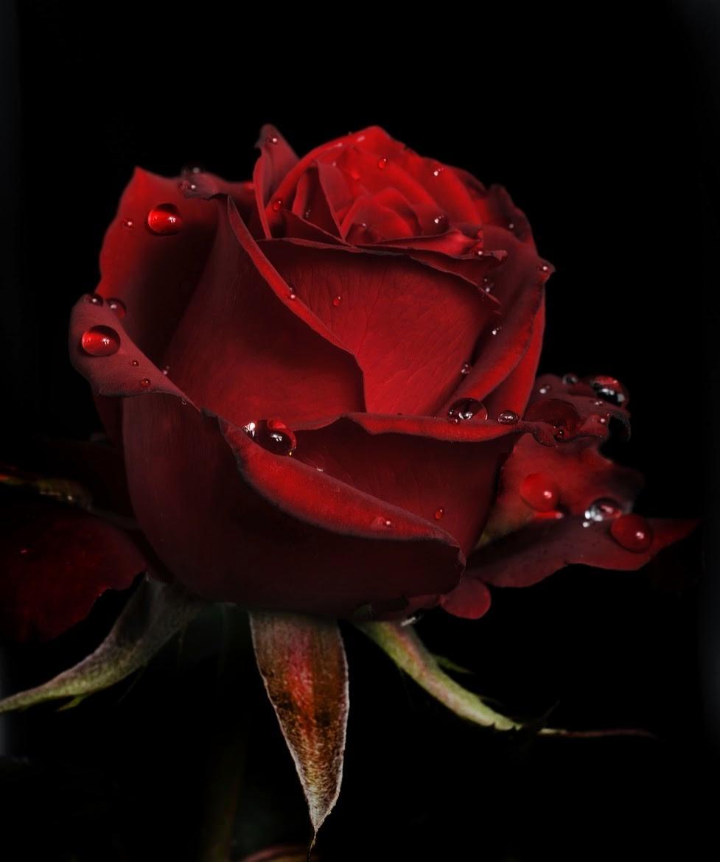 Rosas Rojas Escarlatas Semillas Flores Hermosas Exóticas S 3999