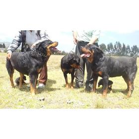 Rottweiler Alemán Envios Y  Entregas A Nivel Nacional