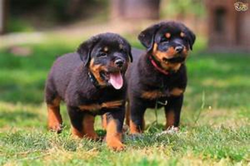 rottweiler cachorros hermosos