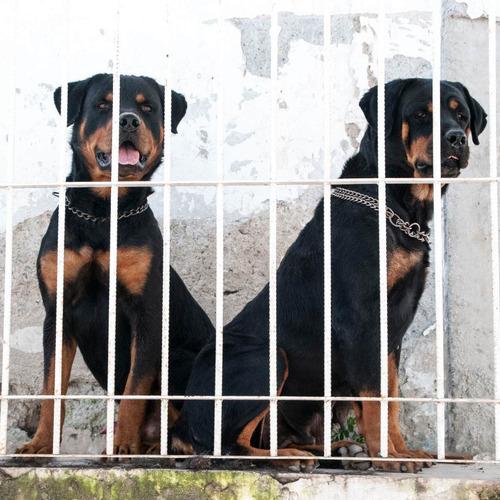 rottweiler cachorros perros