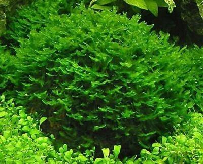 round pelia - musgo aquático plantas