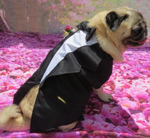 roupa de cachorro ou gato para casamento terno fraque social